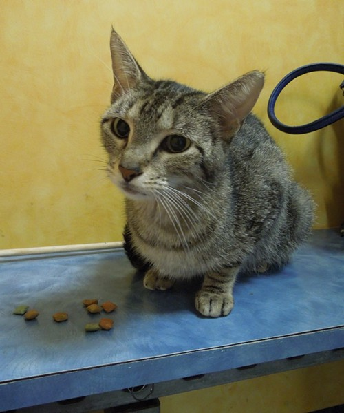 We spent some time visiting this calm little tabby who appeared to be a new arrival at the shelter. - CHEY SCOTT