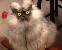 Col. Meow, who resides in Seattle, is probably one of Washington state's most recognized kitties.