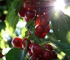cherrypicker.jpg