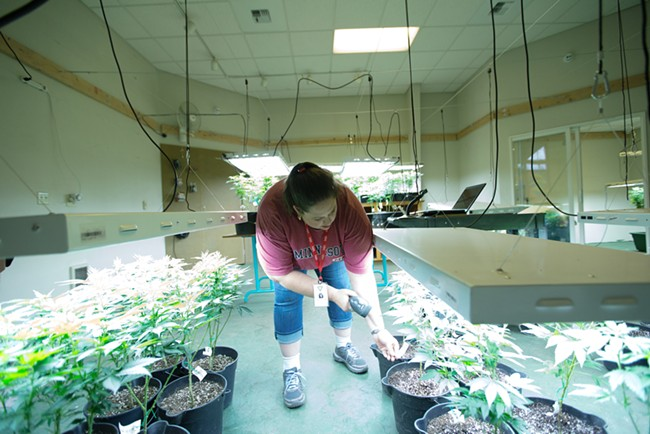 Co-Owner Johanna Tuttle scans a Golden Nugget marijuana plant that has been relocated. - YOUNG KWAK
