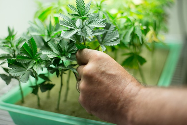 Co-Owner Wesley Tuttle places a Golden Nugget marijuana clone into a planter. - YOUNG KWAK