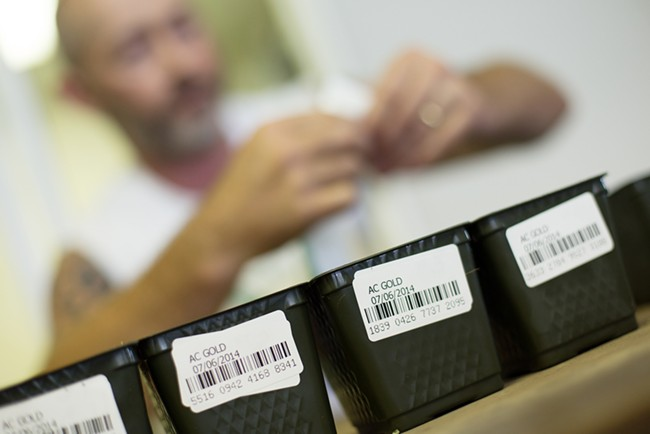 Co-Owner Wesley Tuttle places barcoded labels onto pots containing an AC Gold marijuana seed. - YOUNG KWAK