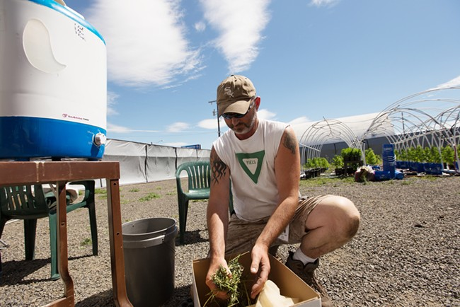 Co-Owner Wesley Tuttle transfers leaves and stems to a bag to make hash. - YOUNG KWAK