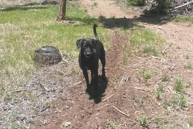 Craig Jones raised Arfee, the black Labrador pictured, from birth.
