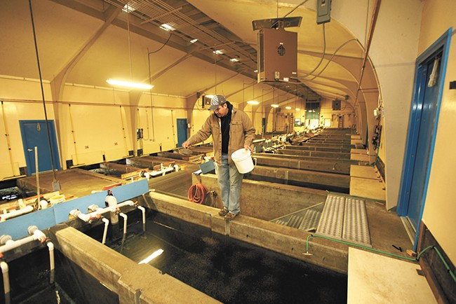 Fish culturist T.J. Lebret feeds rainbow trout at the Spokane Tribal Hatchery. - YOUNG KWAK