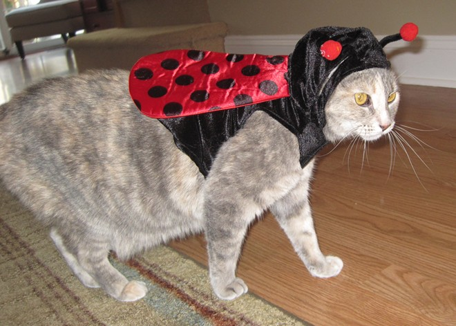 Geo's sister, Gracie the ladybug-cat, also from Philadelphia. Submitted by Rachel.