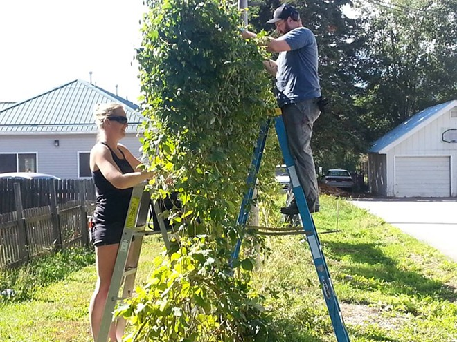 Volunteers have been helping pick hops the last couple days for Laughing Dog Brewing in Sandpoint.
