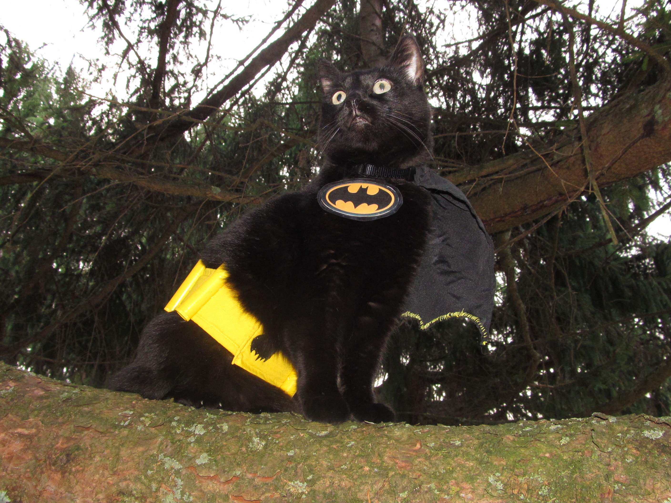 Harley the  Bat Cat  from Howard Penn. Submitted by Beth and Colleen. & CAT FRIDAY: Results of the Halloween Cats Photo Contest | Bloglander
