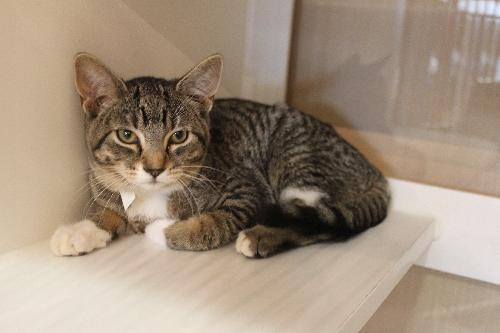 Izzy, a shy young female who came to the shelter after being trapped. Pet ID No. 6715. - SCRAPS