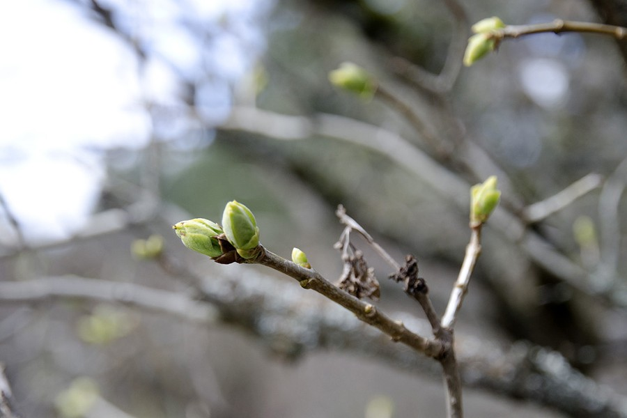 The lilacs at Manito Park are getting ready to unfurl their leaves. - LISA WAANANEN
