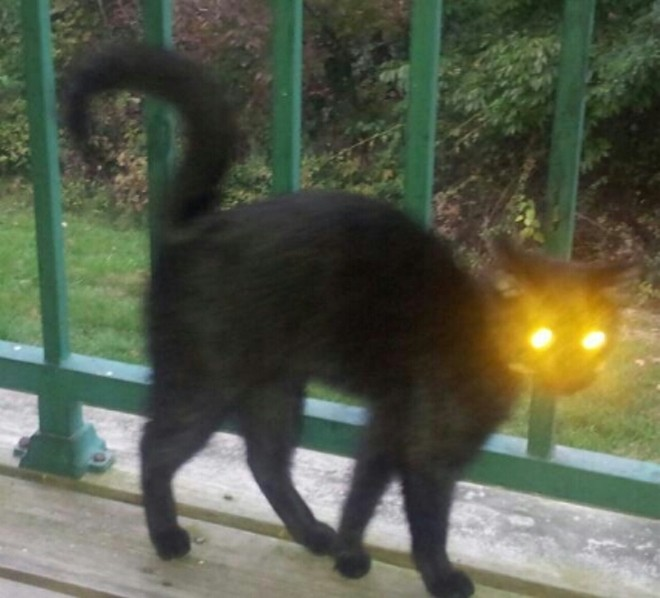 Jinxy, who is Halloween cat enough without a costume, her owner says, from Columbus, Indiana.