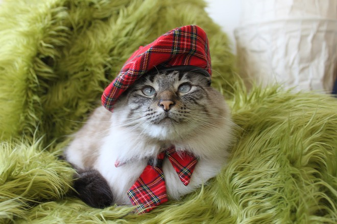 Justus, a dapper Scottish cat, also from Torrance, Calif.