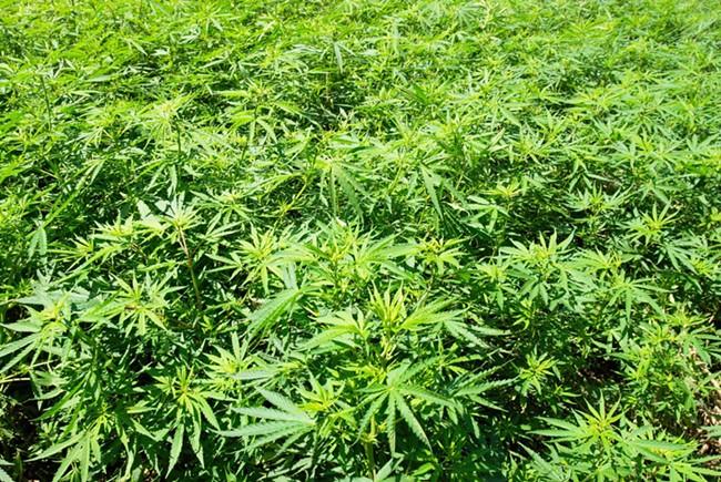 marijuanafield.jpg