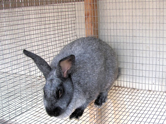 Meet Montgomery, part of a breeding stock of rabbits providing a local woman her meat source. - JOHN BRANDON
