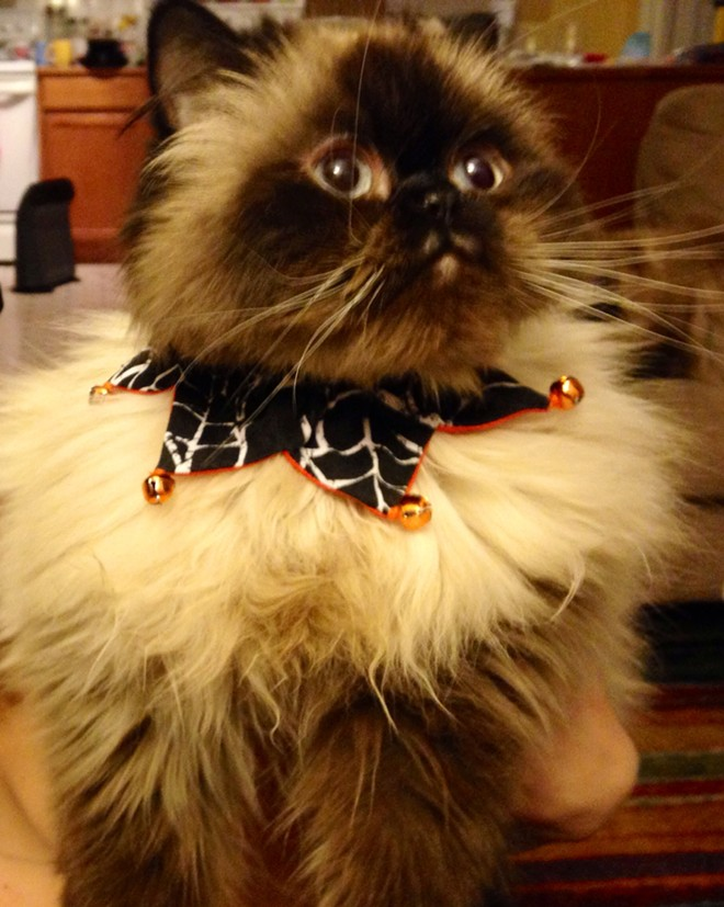 Moof, the Himalayan cat of Inlander graphic designer Ali Blackwood Mead, looking dapper in his Halloween-themed jingle collar.