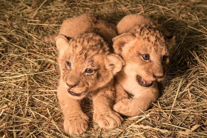 More cute cats born in the Northwest — the Oregon Zoo in Portland welcomed a trio of lion cubs on Sept. 8. - ZOOBORNS