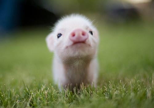 baby_cute_kawaii_pig_piggy_favim.com_360586.jpg