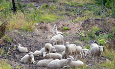 Huckleberry wolf pack shows how livestock conflicts impact recovery goals