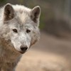 State approves killing wolves suspected in Stevens County sheep deaths