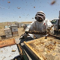 Photos: Local beekeepers and their hives Olson's Honey employee Furmin Lua inspects a bee hive frame. Young Kwak