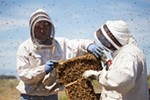 Olson's Honey Field Supervisor Matthew Shakespear, left, and employee Furmin Lua trade bee hive frames to inspect.