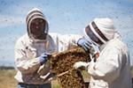 Olson's Honey Field Supervisor Matthew Shakespear, left, and employee Furmin Lua trade bee hive frames to inspect.