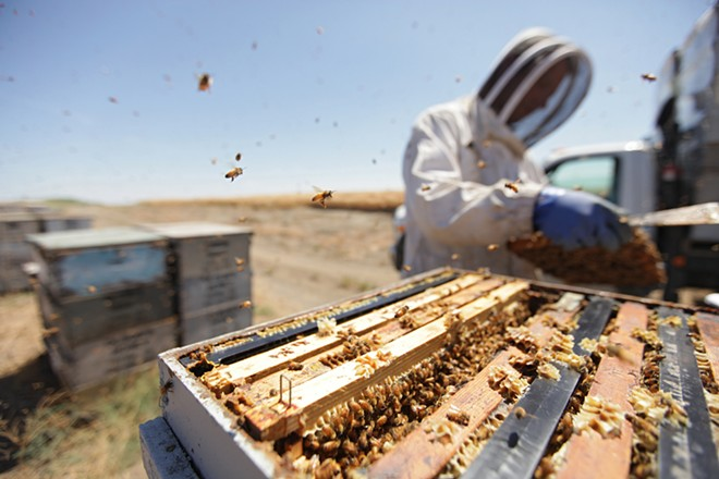 Matthew Shakespear, Olson's Honey field supervisor, inspects a frame from a bee hive in Moses Lake on July 24. - YOUNG KWAK