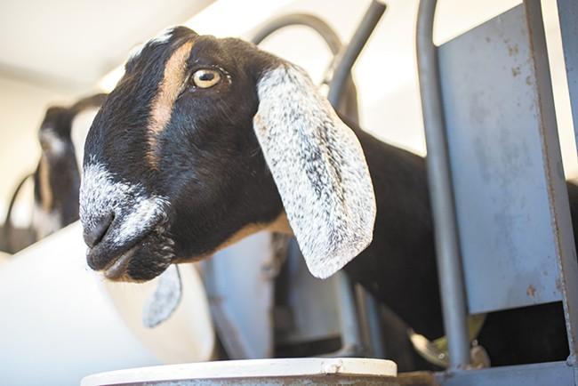 One of Chattaroy's goats hard at work.| - ADAM MILLER