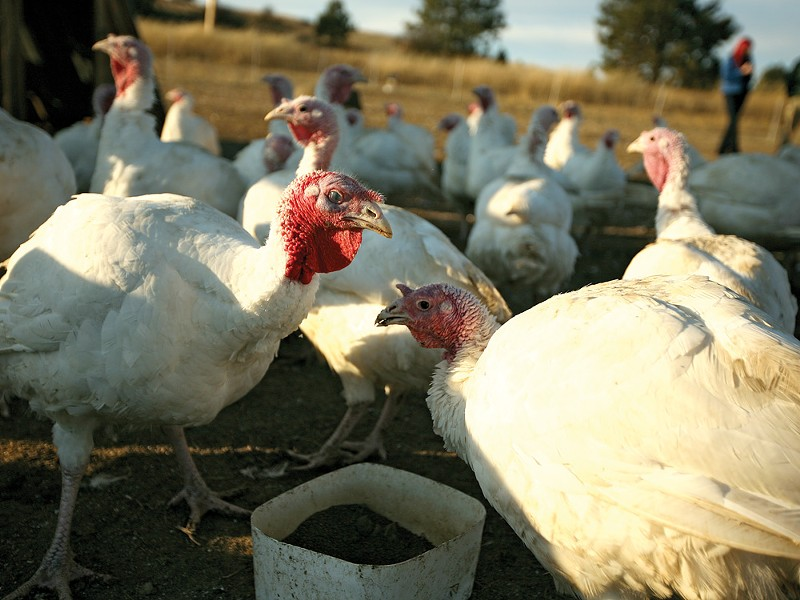 Organic turkeys at Palouse Pastured Poultry, in Rosalia, Wash. - YOUNG KWAK
