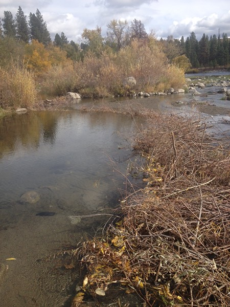 A new beaver dam recently appeared across the mouth of Hangman Creek in West Spokane. - JOE CANNON