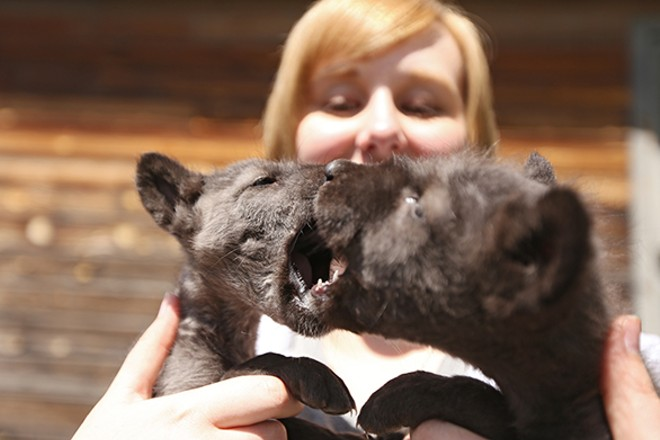 Educational speaker Kalla Denison holds the 5-week-old wolf puppies, Teto and Ki Lani. - YOUNG KWAK