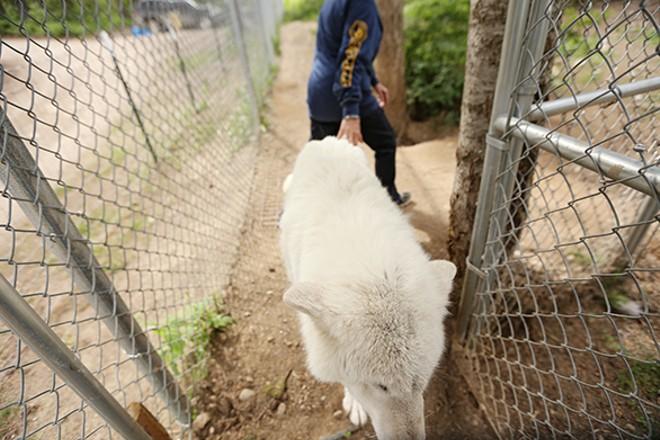 Waka, a 15-year-old Ellesmere Island Arctic wolf, walks around her enclosure.
