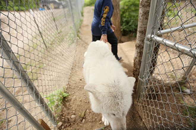 Waka, a 15-year-old Ellesmere Island Arctic wolf, walks around her enclosure.