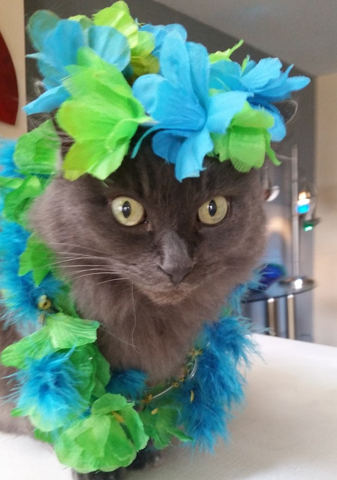 Poseidon, from Walled Lake, Michigan, dressed up as a Hawaiian hula cat. Submitted by Michelle B.