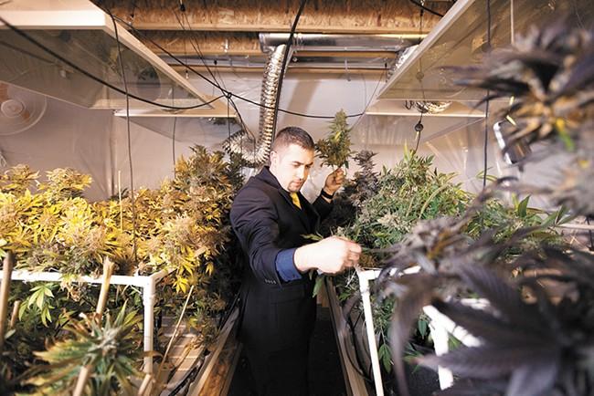 "Sean Green harvests ""Strawberry Sour Diesel"" marijuana. - YOUNG KWAK"