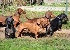 DRAGOON STUDIOS OR DIRECTOR OF THE RESCUE/ - Some Dachshunds playing in the yard.