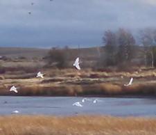 Swans at Deep Creek Preserve