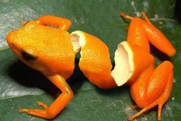orangefrog.jpg