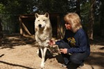 Taylor pets Casperita, a 2-year-old Arctic and timber wolf mix.