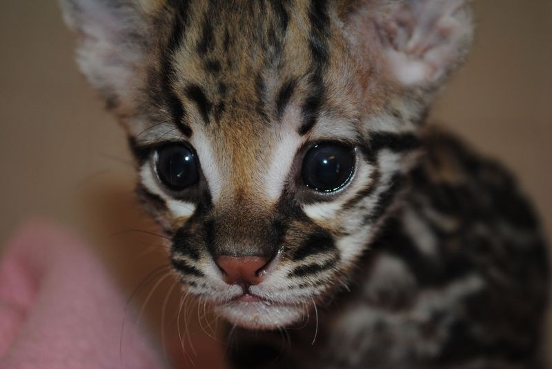 The Abilene Zoo in Texas welcomed sweet little Lucy the ocelot on Sept. 9. (OMG - those eyes.) - ZOOBORNS