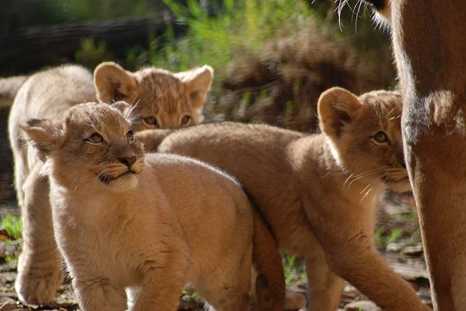 The Sacramento Zoo's lion cub trio, born Oct. 24, 2014, recently made their public debut at nine weeks old. The litter has two females and one male cub. - ZOOBORNS