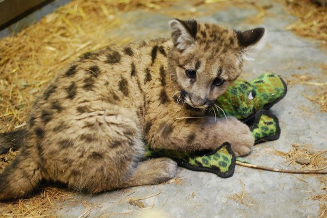 The Stone Zoo, in Stonehamm, Mass., recently took in a 10-week-old cougar cub, Blue. Blue was found alone in Central Idaho at four weeks old - . - ZOOBORNS