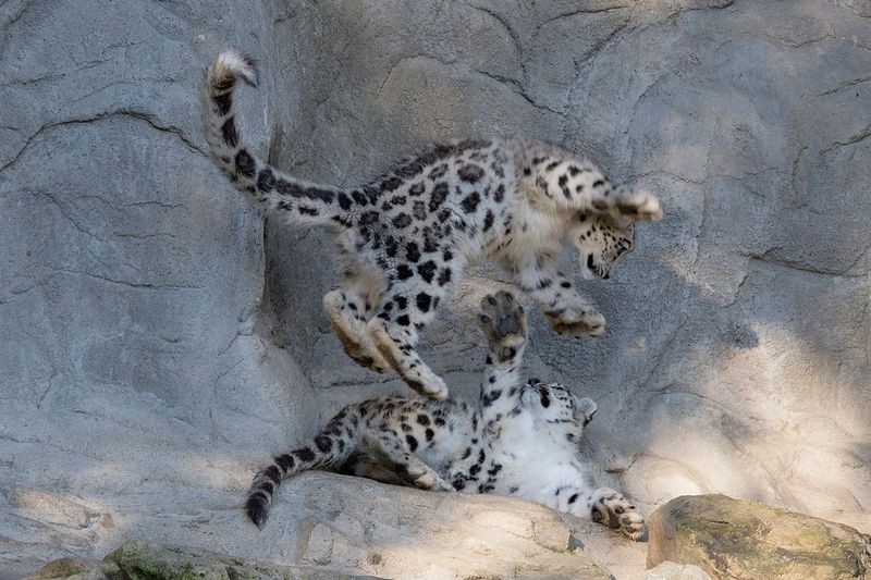 These eight-month-old snow leopard twin sisters debuted in late 2014 at Zoo Zurich, in Germany. - ZOOBORNS