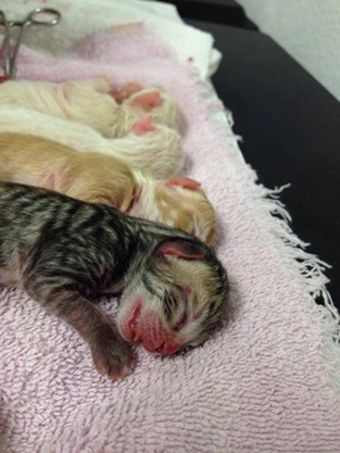 These four kittens miraculously survived after their mother was in labor for two days without giving birth. - SPOKANE HUMANE SOCIETY