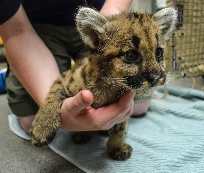 This very special cougar cub was found malnourished and dehydrated on a porch north of Spokane. He was rehabilitated and now has a home at ZooAmerica in Hershey, Penn. - ZOOBORNS
