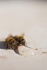 Two bees drink spilled honey at Mark T. Durst and Sons.