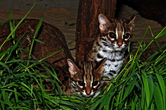 Two Palawan Bengal Cat kittens were born at Zoo Berlin in spring 2014. - ZOOBORNS
