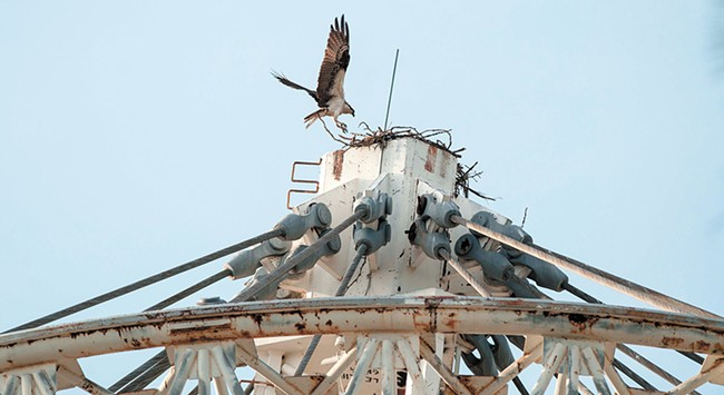 An osprey lands at the top of its nest at the Riverfront Park Pavilion. - DANIEL WALTERS PHOTO