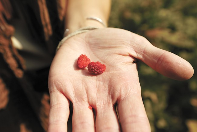 Fresh thimbleberries from the mountain. - YOUNG KWAK
