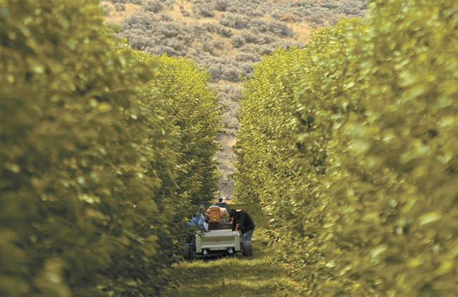 Harvest is underway at K S Orchards in Royal City, Washington. - YOUNG KWAK
